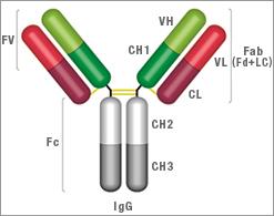 IgG Antibody