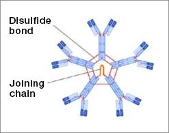 IgM Antibody