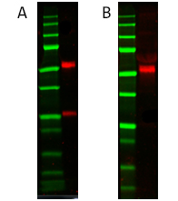 Fig. 1. Detection of Mouse Anti-Human Factor P (MCA2617) with A, Goat Anti-Mouse IgG (H/L):HRP (STAR207P) and B, Goat Anti-Mouse IgG (H/L) (multi species adsorbed) (STAR117P).
