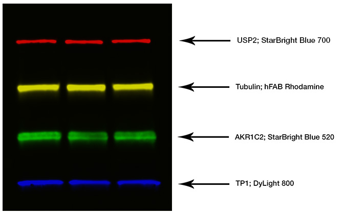 Fig. 1. Composite blot image for quadruples western blotting.