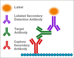 Antibody capture:
