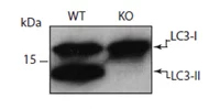Fig. 3. MAP1LC3A/B Antibody (1:5,000 diltution) western blot of wild-type (WT) and Atg5 knockout (KO) cells ( image courtesy of N. Mizushima).