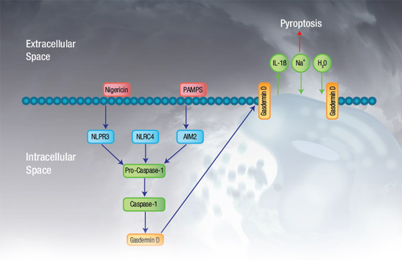 Fig. 1. Pyroptosis overview.