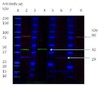 Fluorescent western blotting using isotype specific secondary antibodies.