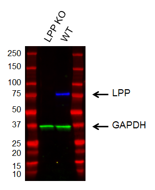 Fig. 1. Western blot analysis of cell lysates from target-knockout and wildtype cells.
