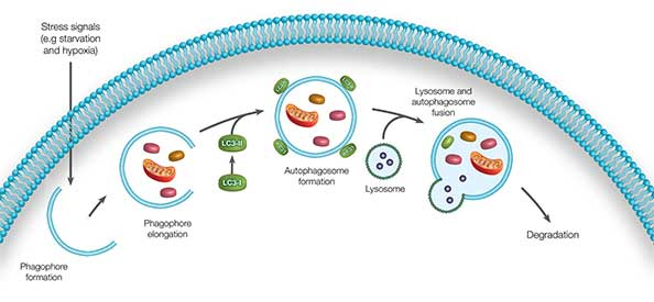 Fig. 1. Autophagy overview. The five main stages in the autophagy process.