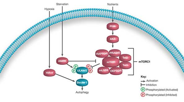 Fig. 3. Simplified major pathways of autophagy induction.