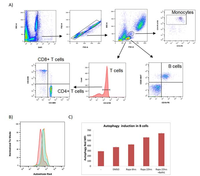 Fig. 4. Flow cytometry detection of autophagy induction in primary B cells from human blood.