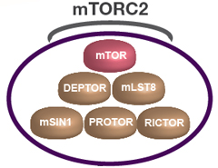 Fig. 1. Schematic drawing of the mTORC2 complex. mTORC2 contains mTOR, DEPTOR, mLST8, RICTOR, mSIN1, and PROTOR (Populo et al. 2012).