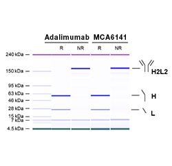 Fig. 1a. Anti-TNF alpha Antibody (MCA6141) and adalimumab (therapeutic reference product) were denatured and analyzed under reducing (R) and non-reducing (NR) conditions.