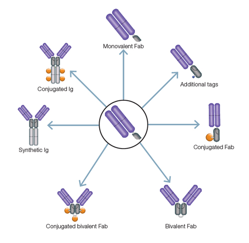 Fig. 1. Convert one monovalent Fab antibody with SpyTag (center) to multiple formats using a variety of SpyCatchers.
