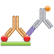 Schematic image of PK Bridging ELISA with type 2 antibodies