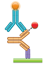 Schematic image of PK bridging ELISA measuring free and partially bound drug. Type 1 anti-idiotypic capture antibody, Fab format (purple), monoclonal antibody drug (gold), type 2 anti-idiotypic detection antibody, Ig format (blue), labeled with HRP.