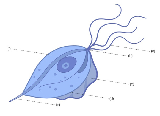 Fig. 1. Schematic drawing of Trichomonas vaginalis.