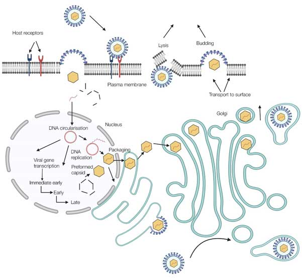 Fig. 2. The replication cycle of cytomegalovirus.
