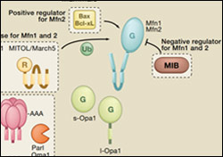 Mitochondrial Dynamicsa: SnapShot from Cell Press
