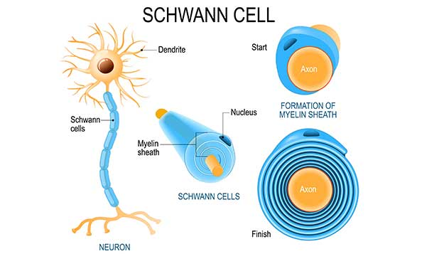 Schwann cell generating myelin sheath