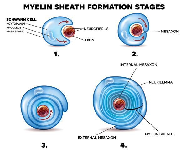 Myelin wrapping around axon
