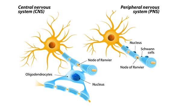 CNS vs PNS myelination