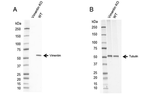 Fig. 3. Western blot analysis of Vimentin CRISPR knockout HeLa (Vimentin KO) and wild type HeLa (WT) whole cell lysates probed with A, Human Anti-Vimentin Antibody (VMA00008) and B, hFAB Rhodamine Anti-Tubulin Primary Antibody (12004166).