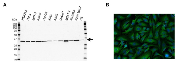 Fig. 1. A, Western blot analysis of whole cell lysates probed with PCNA Antibody (VMA00018) followed by detection with HRP conjugated Goat Anti-Mouse IgG (1/10,000, STAR207P) and visualized on the ChemiDoc MP with 5 sec exposure. Arrow points to PCNA (molecular weight 29 kDa). B, HeLa cells stained with 5 µg/ml Mouse Anti-GPI Antibody (VMA00348, green). Hoechst was used as nuclear stain (blue) and imaged with a 20x objective.