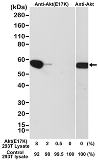 Fig. 2. Western blot analysis of a cell lysate mixture of untransfected 293T and 293T transfected with a DNA construct encoding the AKT E17K mutant and probed with Rabbit Anti-AKT (E17K Mutant) (MCA6297) or Rabbit Anti-AKT (MCA6307).
