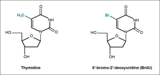 Fig.1. Chemical structures of the DNA nucleoside thymidine and its analog BrdU.
