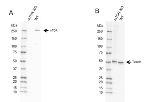 Fig. 1. Western blot analysis of mTOR CRISPR knockout HEK293 (mTOR KO) and wild type HEK293 (WT) whole cell lysates probed with A, Rabbit Anti-mTOR Antibody (VPA00174) and B, hFAB Rhodamine Anti-Tubulin Primary Antibody (12004166) and visualized on the ChemiDoc MP Imaging System.
