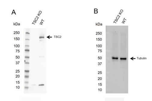 Fig. 2. Western blot analysis of TSC2 knockout HEK293 and wild type HEK293 (WT) whole cell lysates probed with A, Rabbit Anti-TSC2 Antibody (VPA00214) and B, hFAB Rhodamine Anti-Tubulin Primary Antibody (12004166) and visualized on theChemiDoc MP Imaging System.