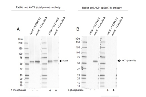 Fig. 3. Western blot analysis of whole cell lysates probed with A, Rabbit Anti-AKT Antibody or B, Rabbit Anti-AKT (pSer473) Antibody (1/1,000, VMA00900).