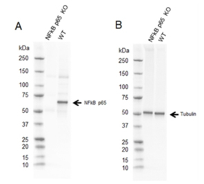 Fig. 2.Western blot analysis of NFkB p65 CRISPR knockout HeLa (NFkB p65 KO) and wild type HeLa (WT) whole cell lysates probed with A, Sheep Anti-NFkB p65 Antibody (VPA00015) and B, hFAB Rhodamine Anti-Tubulin Primary Antibody (12004166).