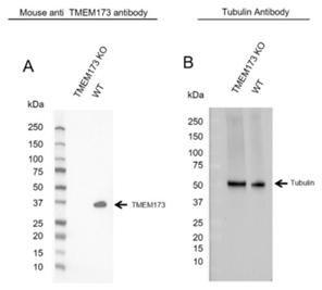 Fig. 1.Western blot analysis of TMEM173 knockout HeLa and wild type HeLa (WT) whole cell lysates probed with A, Mouse Anti-TMEM173 Antibody (VMA00456) and B, hFAB Rhodamine Anti-Tubulin Primary Antibody (12004166).