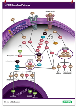 mTOR Pathway Poster
