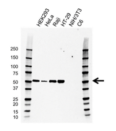 Fig. 3.Western blot analysis of whole cell lysates probed with Mouse anti Human IRF3 antibody, clone AB01/1D2 (VMA00640) followed by detection with HRP onjugated Goat anti Mouse IgG (STAR207P) and visualized on the ChemiDoc MP.