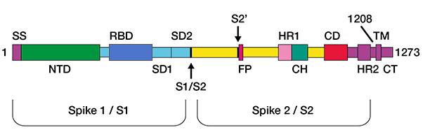 Fig. 1. Structure of the spike protein.