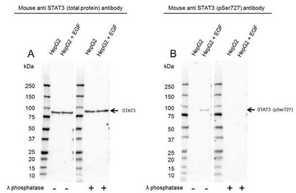 Fig. 5. Western blot analysis of HepG2 untreated and EGF treated whole cell lysates probed with A, Mouse Anti-STAT3 Antibody (VMA00242) or B, Mouse Anti-STAT3 (pSer727) Antibody (VMA00755), followed by detection with HRP Conjugated Goat Anti-Mouse IgG (1/10,000, STAR207P).
