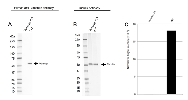 Fig 2. Western blot analysis of vimentin CRISPR knockout HeLa (Vimentin KO) and wild type HeLa (WT) whole cell lysates probed with A, Human Anti-Vimentin Antibody (VMA00008) and B, hFAB Rhodamine Anti-Tubulin Primary Antibody (12004166). C, normalized signal intensity of vimentin from CRISPR knockout and wild type lysates. Signal intensity was normalized to total protein.