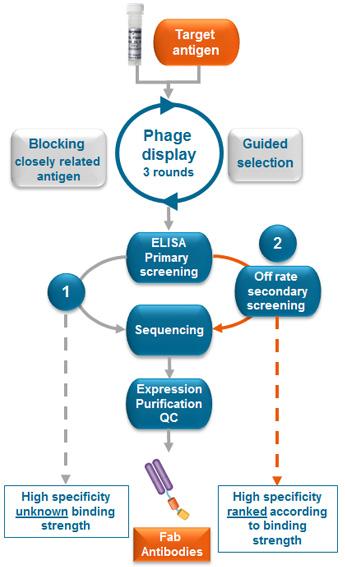 Standard ELISA Screening