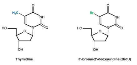 Fig.1. Chemical structures of the DNA nucleoside thymidine and its analog BrdU
