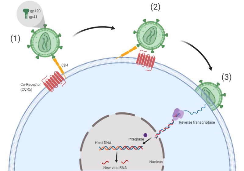 HIV cell entry mechanism