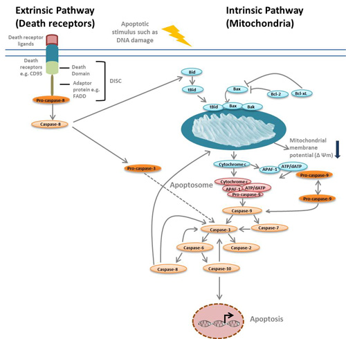 intrinsic and extrinsic apoptosis pathways
