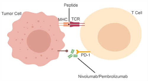 Mechanism of nivolumab and pembrolizumab