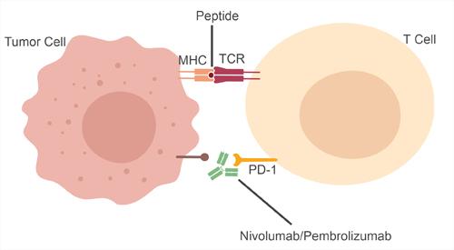 Mechanism of nivolumab  and pembrolizumab