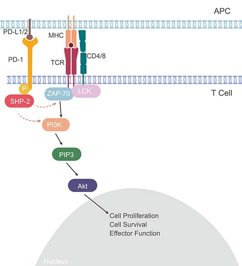 PDL-1 signaling