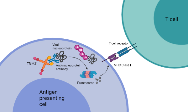 Mechanism of TRIM21 immune synergy