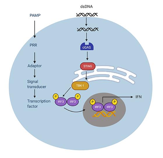 Fig.1. PRR signaling