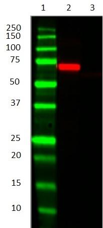Alkaline Phosphatase Antibody | AbD25296_hIgG2 gallery image 2