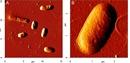 Escherichia coli Antibody thumbnail image 1
