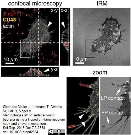 Escherichia coli Antibody gallery image 3