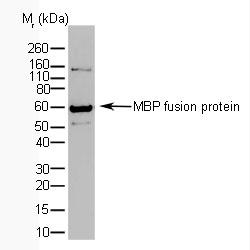 Maltose Binding Protein Antibody | AbD06592 gallery image 1